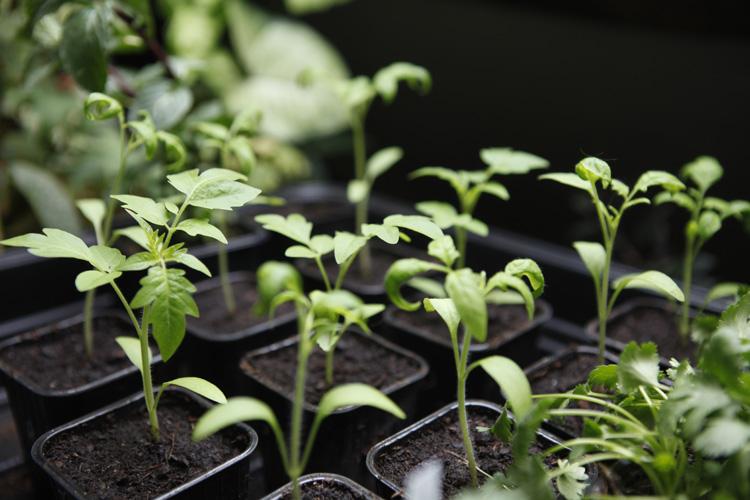 2013-04-06 prouais - tomates