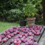2013-09-11 marcilly - prunes