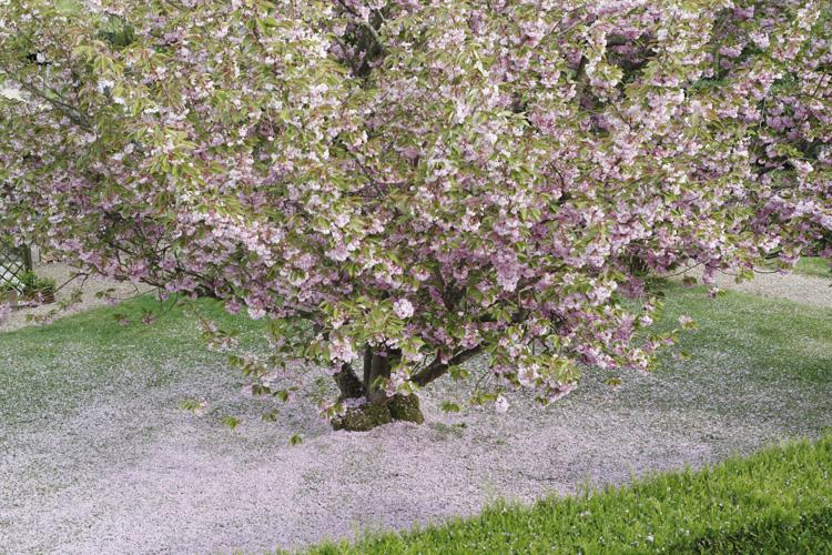2014-04-20 marcilly - prunus