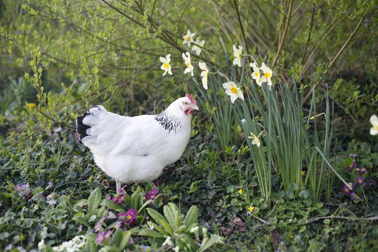 2017-04-02 poules