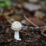 2013-10-05 sorel-moussel - champignon