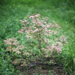 2014-05-24 marcilly - acer deshojo