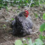 2016-09_08 jardin - poules